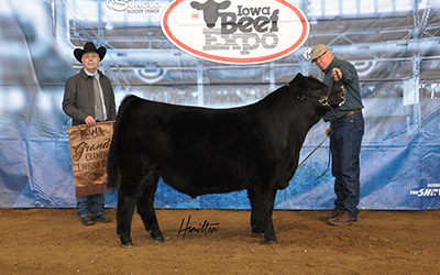 Limousin Champ Bull