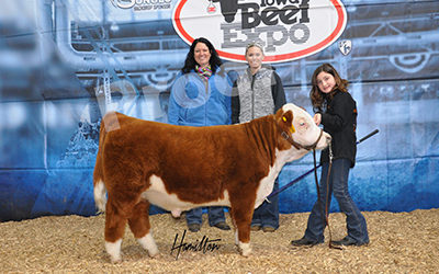 Mini Hereford High Bull