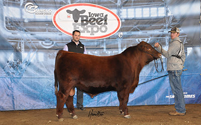 Red Angus Champ Bull