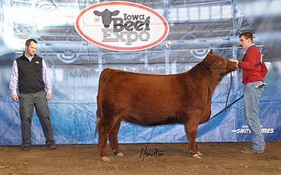 Red Angus Champ Female