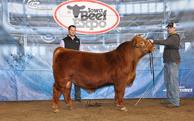 Red Angus High Bull