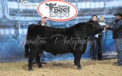 Limousin Bull DSC_0202lr