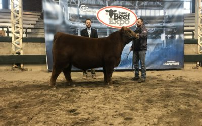 Champ Red Angus Bull