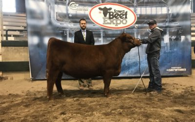 Champion Red Angus Female