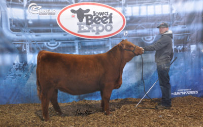 Red Angus Female