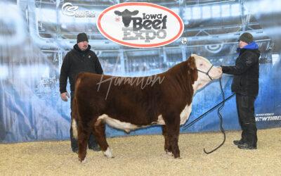 Hereford Bull DSC_0362lr